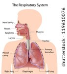 the respiratory system  labeled | Shutterstock .eps vector #119610076