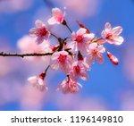 Pink Tree Of Wild Himalayan...