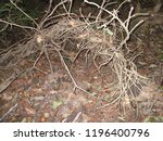 entwined forest floor branches | Shutterstock . vector #1196400796