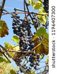 bunch of grapes against the... | Shutterstock . vector #1196407300
