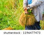thai female farmer harvesting... | Shutterstock . vector #1196477473