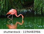 A Pink Flamingo Standing In A...