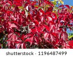 bright red leaves of wild... | Shutterstock . vector #1196487499