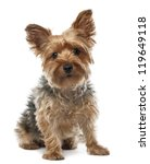 Yorkshire Terrier  2.5 Years...