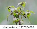 raindrops on a nettle ... | Shutterstock . vector #1196506036