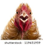 Close Up Of Crossbreed Rooster...