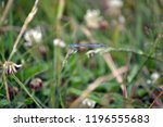 blue dragonfly sitting on a... | Shutterstock . vector #1196555683