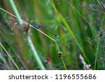 blue dragonfly sitting on a... | Shutterstock . vector #1196555686