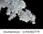 A Branch Of A Conifer Tree In...