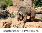syrian brown bear in a zoo at... | Shutterstock . vector #1196748976