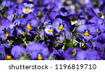 close up of blue pansy flowers...   Shutterstock . vector #1196819710