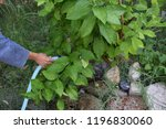 girl watering lemon plant | Shutterstock . vector #1196830060