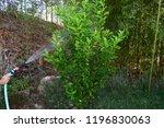 girl watering lemon plant | Shutterstock . vector #1196830063