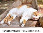 thai cat  cat yellow white  cat ... | Shutterstock . vector #1196864416