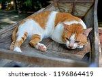thai cat  cat yellow white  cat ... | Shutterstock . vector #1196864419