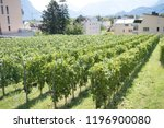 Vaduz, Liechtenstein, 16th August 2018:- A vineyard growing between Vaduz the capital of Liechtenstein and Schaan - stock photo