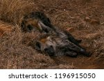 baby hyena cuddling and... | Shutterstock . vector #1196915050