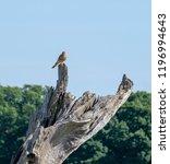 kestrel perched on a dead tree | Shutterstock . vector #1196994643