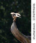 kestrel perched on a dead tree | Shutterstock . vector #1196994646