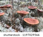mushrooms themselves are... | Shutterstock . vector #1197029566