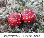 mushrooms themselves are... | Shutterstock . vector #1197035266