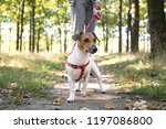 Stock photo closeup jack russel dog on the walk in the autumn park 1197086800