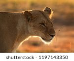 lioness in the morning with rim ... | Shutterstock . vector #1197143350