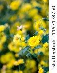 yellow chrysanthemum flowers ... | Shutterstock . vector #1197178750