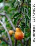 organic pears. juicy flavorful... | Shutterstock . vector #1197248710