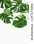 tropical palm leaf monstera... | Shutterstock . vector #1197271846