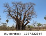 the big tree   is a large...   Shutterstock . vector #1197322969