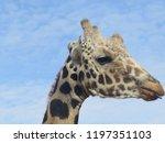 closeup head shot profile of a... | Shutterstock . vector #1197351103