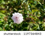 delicate thornless  silvery... | Shutterstock . vector #1197364843