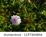 delicate thornless  silvery... | Shutterstock . vector #1197364846