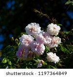 delicate thornless  silvery... | Shutterstock . vector #1197364849