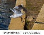 A Beautiful Seagull  Adult ...