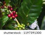 arabica coffee cherries on tree ...   Shutterstock . vector #1197391300