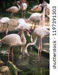 flamingo bird day life with...   Shutterstock . vector #1197391303