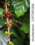 arabica coffee cherries on tree ...   Shutterstock . vector #1197391306