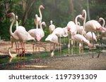 flamingo bird day life with...   Shutterstock . vector #1197391309