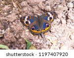 Buckeye butterfly in the desert on the rocky ground by a trail.  Vivid blue wings with orange flashes and purple eyes.  Concept of fragile life on rough terrain.