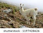 llama  lama glama   mammal... | Shutterstock . vector #1197428626