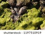 algaes of the rock | Shutterstock . vector #1197510919