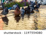 birds are drinking water from... | Shutterstock . vector #1197554080