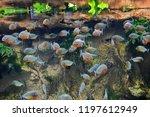 Pygocentrus nattereri. flock of ...