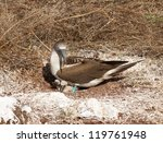 Blue Footed Booby Is Seabird...