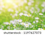 close up beautiful white flower ... | Shutterstock . vector #1197627073