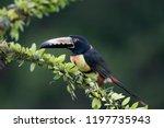 collared aracari toucan ... | Shutterstock . vector #1197735943