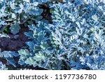ornamental carrot plant | Shutterstock . vector #1197736780