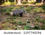 badger in forest  animal in... | Shutterstock . vector #1197740296
